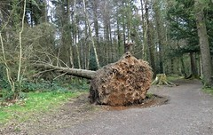 A tree must fall (ronmcbride66) Tags: woodland forest fallentree roots rootsystem decay woodlandpath conifer coth5