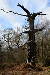 Ancient oak tree, Sherwood Forest (braddalad123) Tags: outdoor tree trees bracken fern nature winter sun sunlight nikon d3200 sherwoodforest nottingham nottinghamshire