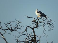 White-tailed Kite on a snag tree (stonebird) Tags: whitetailedkite elanusleucurus ballonawetlandsecologicalreserve areaa march img1215