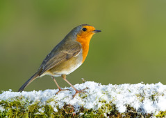Eurasian Robin  ( erithacus rubecula ) - Iconic robin shot !! (Clive Brown 72) Tags: bird wildlife iconic wales perched snow christmas songbird mossy winter woodland perch robin