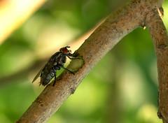 fly (stempel*) Tags: polska poland polen polonia gambezia pentax k30 nature fly mucha syringa bez macro makro owad insect sade budy