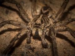 wolf spider (dustaway) Tags: australia australianwildlife arachnida araneae araneomorphae lycosidae tasmanicosa wolfspider australianspiders tamborinemountain mounttamborine sequeensland queensland nature