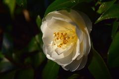 20190315_017_2 (まさちゃん) Tags: 白い花 白い椿 椿 camellia