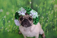 The Spring Shamrock Flowers Are Blooming! (DaPuglet) Tags: pug pugs dog dogs pet pets shamrock flowers spring costume hat funny cute stpatricksday patrick paddy irish holiday march flower pat green eringobragh saintpatrick patty lol wrinkles animal animals
