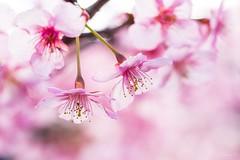 Kawazu cherry blossom (takapata) Tags: sony sel90m28g ilce7m2 macro nature flower sakura cherry blossom