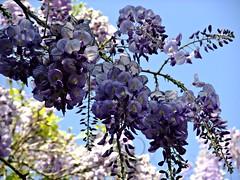 """Belleza primaveral """" El despertar de la Glicina"""" (adioslunitaadios) Tags: plantasyflores flores glicina campo jardín valencia tonalidadesazules fujifilm naturaleza macro arbusto primaveral airelibre nubes"""