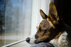 Ravi Window 1 (Kenjis9965) Tags: stumpy stumper relaxing pupper doggo puppy looking watching 35mm f28 sonnar ilce7m3 carl zeiss nex iii mark a7 a7iii cardigan welsh corgi sony sel35f28z sonnar3528za sonnartfe2835