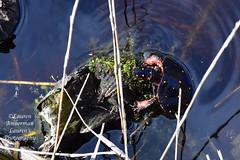 Spotted turtle (lauren3838 photography) Tags: laurensphotography lauren3838photography turtle spottedturtle nature ilovenature reptile nikon d750 marsh marshlands gordonspond delaware de lewes capehenlopenstatepark delagram park animal endangered tourism ecotourism