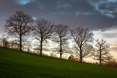 5 sisters (holding_justin) Tags: oaktrees chênes trees arbres coucherdesoleil sunset field champ belgique belgium landscape europe canon 5d4 2470