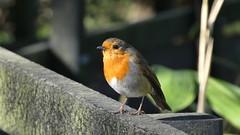 Robin (Deanne Wildsmith) Tags: robin bird staffordshire wolseleynaturecentre earthnaturelife