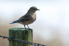 Female Mountain Bluebird (RkyMtnGrl) Tags: wildlife nature bird mountainbluebird female estespark spring march 2019