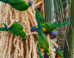 'Noisy brunch' (robby.macgillivray) Tags: birds rainbow parrot colour seed pods food red yellow green palm purple lorikeet south australia adeliae suburbs wildlife colourful noisy
