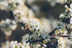 Beautiful nature (Inka56) Tags: bee blackthorn blossom sunnyday wildnature nature insect animal animalplanet