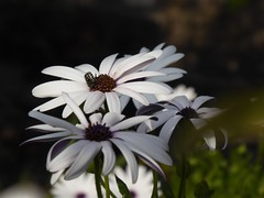 a capofitto (fotomie2009) Tags: oxythyrea funesta cetoniella insect insecta insetto beetle coleoptera coleottero osteospermum african daisy blue eyed margherita occhi blu flora flower fiore white spring primavera