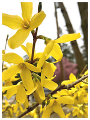 Forsythia is now in bloom (karma (Karen)) Tags: baltimore maryland neighborhood bushes blossoms forsythia dof bokeh iphone hbw cmwd