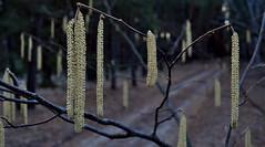 Moments of spring. (ALEKSANDR RYBAK) Tags: изображения весна сезон погода природа деревья ветки серёжки цветение крупный план images spring season weather nature forest trees branches earrings bloom closeup