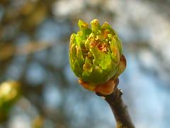 Blütenknospe Weißdorn (Jörg Paul Kaspari) Tags: daun eifel vulkaneifel totenmaar frühling spring weisdorn crataegus austrieb knospe