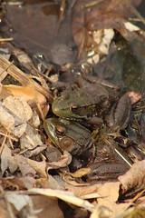 Two (historygradguy (jobhunting)) Tags: easton ny newyork upstate washingtoncounty frog frogs animals