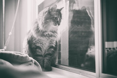 Sophie, the Explorer (flashfix) Tags: march302019 2019inphotos flashfix flashfixphotography ottawa ontario canada nikond7100 40mm portrait sophie cat feline paws blankets couch watching curious pose poser whiskers fluffy monochrome window blackandwhite