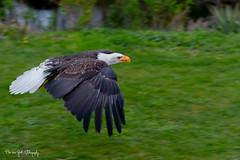 BaldEagle4 (Borreltje.com) Tags: topvogel birdofprey roofvogel roofvogels vogel bird birds wildlife prey workshop fotoshoot birdsinflight