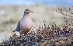 9C7A3455 (dknight429) Tags: animal wildlife bird dove mourning feathers ground grass sky pigeon
