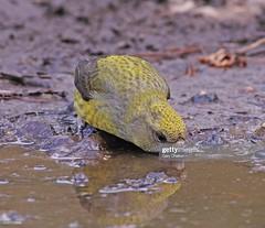 Crossbill female (Gary Chalker, Thanks for over 4,000,000. views) Tags: crossbill bird finch pentax pentaxk3ii k3ii pentaxfa600mmf4edif fa600mmf4edif fa600mm 600mm female