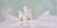 Innocence (Note-ables by Lynn) Tags: orchid pure painterly photoartistry