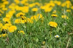 Fleurs de pissenlit (Croc'odile67) Tags: nikon d3300 sigma contemporary 18200dcoshsmc fleurs flowers nature printemps spring fruhling