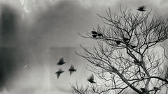 Blackbirds (zedspics) Tags: bw blackwhite monochrome zedspics nature oldschool 1904 blackbird wetplate