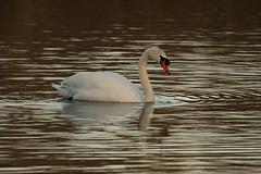 DSC08037 (simonbalk523) Tags: swan warnham sussex horsham nature birds animals wildlife wild reserve sony photography tamron