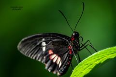 Hexagonal eye (mariola aga) Tags: butterflywonderland plant leaf butterfly black red green hexagonal eye closeup coth alittlebeauty coth5 goldwildlife