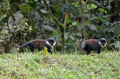 L'Hoest's Monkey (douwesvincent) Tags: oeganda uganda africa earth world planet blue green wind nature natural eco tourist photo fauna flora holiday birding trip enjoy believing