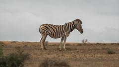 DSC08797 (Paddy-NX) Tags: 2019 20190109 addoelephantnationalpark africa sony sonya77ii sonyalpha sonyalphaa77ii sonysal70300g southafrica wildlife zebra
