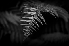 Fern Leaves - Black & White-0136-2 (JayDeWinne) Tags: green fern leaves patterns colours leaf nature flora plant forest nopeople backgrounds botany beautyinnature vector abstract lushfoliage branchplantpart frond closeup freshness depth selectivefocus naturalpattern