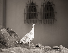 Garden visit, Portugal (KronaPhoto) Tags: portugal garden birds påfugl fugl mom sepia hage dof