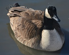 Picture perfect goose (primpenny1) Tags: canadagoose wildlife nature pond