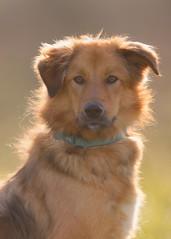 'Lady P' (Jonathan Casey) Tags: dog portrait collie cross rescue norfolk animal sanctuary pact golden nikon d850 400mm vr f28