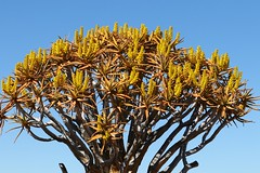 Quiver Tree ( Aloe dictotoma) Forest - Keetmanshoop   Namibia (43) (Ann Collier Wildlife & General Photographer) Tags: nationalmonumentofnamibia quivertreeforest quivertree aloedictotoma keetmanshoop namibia trees gariganusfarm