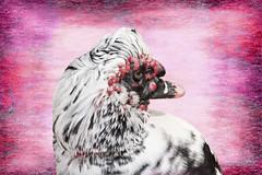 Muscovy portrait (Anne Davis 773) Tags: 2019365 58365 muscovyduck bird texture art photoshop turnerlake