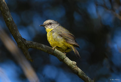 Eastern Yellow Robin (aj4095) Tags: eastern yellow robin australia bird birding nature wildlife outdoor nikon tree