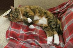 Gracie 18 January 2019 2314Ri 4x6 (edgarandron - Busy!) Tags: gracie patchedtabby cat cats kitty kitties tabby tabbies cute feline