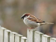 House sparrow (Simply Sharon !) Tags: housesparrow bird sparrow wildlife britishwildlife nature gardenbird gardenvisitor inthegarden march