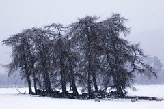 More Snow (PeskyMesky) Tags: aberdeenshire crathie scotland copse tree trees forest snow ballater canon canon5d eos