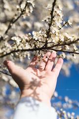 (CarolienCadoni..) Tags: sony sonyilcaa99m2 ilca99m2 50mmf14 sal50f14 blossom blossoms hand shadows shadowandlight lightandshadows sun sunlight