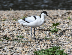 Might nest here (Grumpys Gallery) Tags: avocet birds wildlife nature