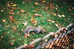 Squirrel (goodfella2459) Tags: nikonf4 afnikkor50mmf14dlens fujifilmc200 35mm c41 film analog colour squirrel kensingtongardens london park animal nature leaves
