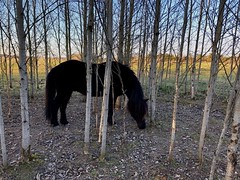 Försöker gömma sig… (Patrick Strandberg) Tags: sweden östergötland bergagård eilifur icelandichorse islandshäst horse häst iphone iphonex