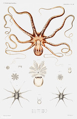 Ornate octopus anatomy vintage poster (Free Public Domain Illustrations by rawpixel) Tags: anatomy animal antique aquatic art augustus augustusaddisongould book cc0 creativecommons0 creature decor decoration design drawing expedition free gould illustration images life long marine mediterranean molluscashells name nature nautical nightoctopus nocturnal northatlantic ocean octopus picture poster print publicdomain red science scientific scientificexpeditions sea seafood species stripes study tentacle tentacles unique vintage white whitestripedoctopus zoology