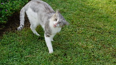 2015-09-20_16-55-00_ILCE-6000_DSC00258 (Miguel Discart (Photos Vrac)) Tags: 2015 94mm animal animalphotography animals animalsupclose animaux cat cats chat chats colakli e1670mmf4zaoss focallength94mm focallengthin35mmformat94mm holiday hotel ilce6000 iso100 kamelya kamelyaworld nature naturephotography pet sony sonyilce6000 sonyilce6000e1670mmf4zaoss summer turkey turquie vacance vacation