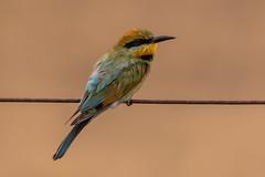 Rainbow bee eater (crispiks) Tags: rainbowbeeeater cookinburraroadbarnawartha birdlife animals chiltern north east victoria mount pilot national park nikon d500 200500 f56